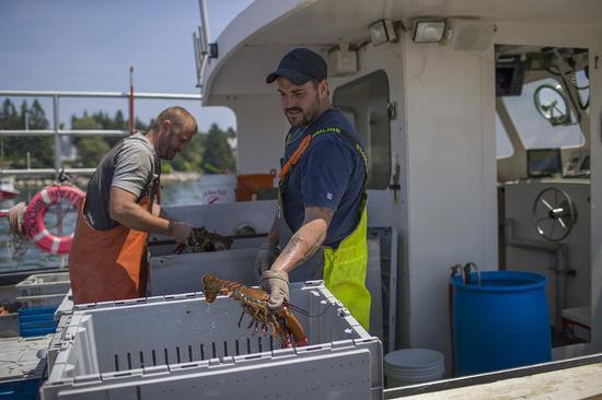 緬因州龍蝦9月份捕獲量相形去年同期大跌約四成,價格因此升高約兩成,令當地漁民十分...