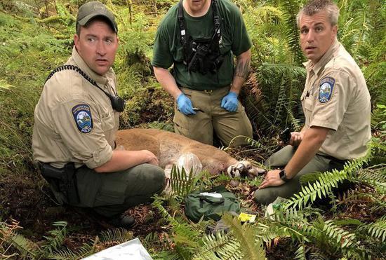 美国华盛顿州警方今天表示,一头美洲狮攻击两名闯入牠地盘的登山车手,导致一人死亡,另一人受伤。这头美洲狮不久后遭射杀。图撷自seattletimes