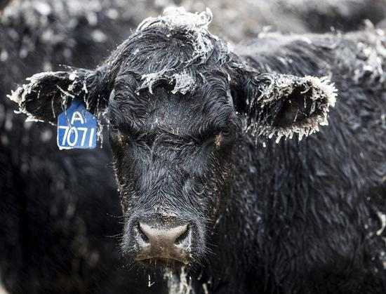 內布拉斯加州10日也遭「炸彈氣旋」掃過,讓該州一座牧場的牛身上都披上一層冰柱。(美聯社)