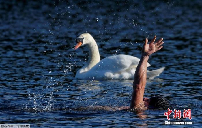 當地時間5月18日,英國海德公園正式開放,一名游泳者從天鵝旁邊遊過。